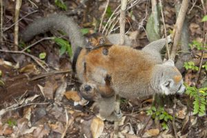 Crowned lemur with twins