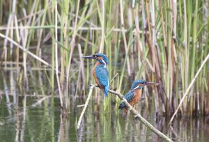 Male and female Kingfishers