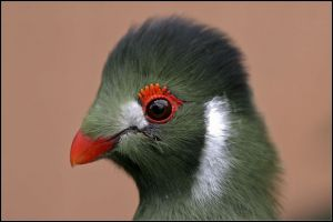 White cheekd Turaco from Africa