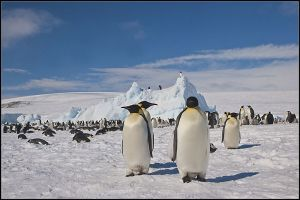 Emperor Penguins and BBC film crew on top of iceberg