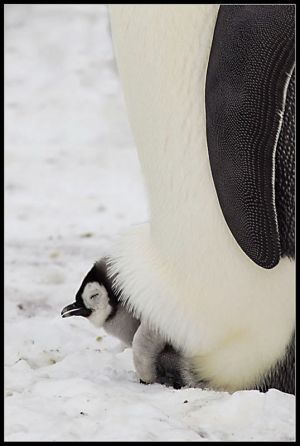 Emperor Penguin chick on adult feet