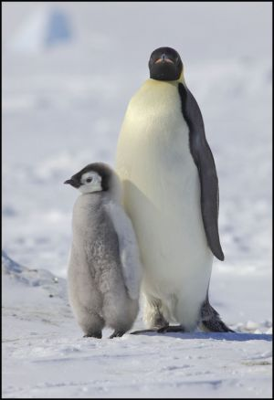 Emperor Penguin and chick