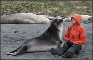 Female Elephant Seal