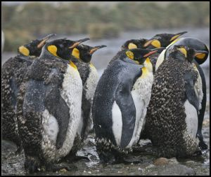 Fledging King Penguins