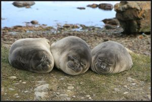 Female elephant seals