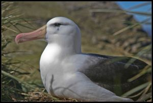 Black Browed Albatros