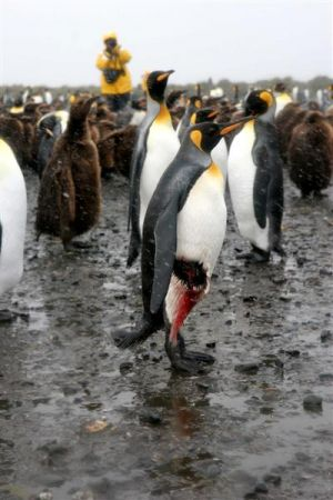 Injured King penguin - Probably Leopard Seal bite