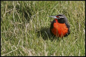 Long tailed Meadowlark
