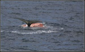 Humpback Whale dumping digested Krill