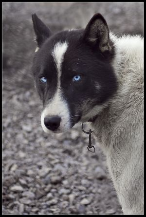 Blue eyed Huskey