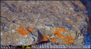 Elegant Orange Lichen