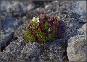 Tufted Saxifrage