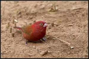 Male Fire Finch