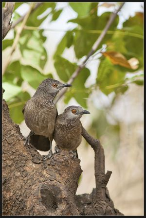 Brown Babblers