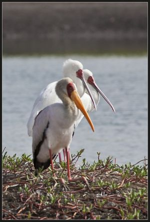 Spoonbill and Yellow Billed Stork