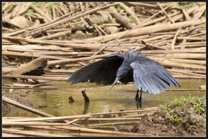Black Egret Fishing