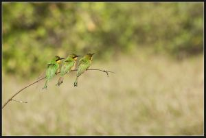 Litttle Bee Eaters