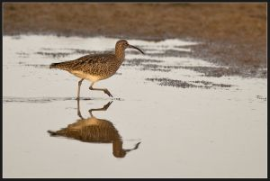 Whimbrell