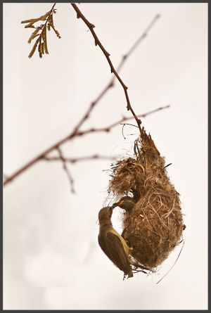 Sunbird feeding baby in nest, Gambia