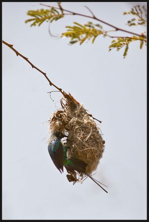 Male Sunbird feeding baby in nest