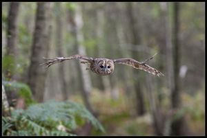 Tawny owl in flight