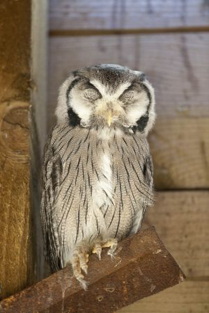 White faced scopps owl - asleep