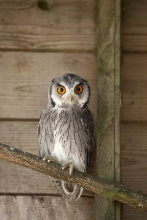 White faced scopps owl - awake
