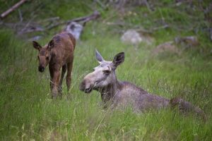 Elk female and calf