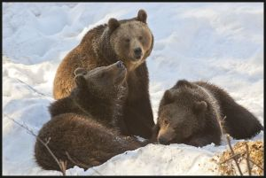 Brown bear family in Bavaria National Park