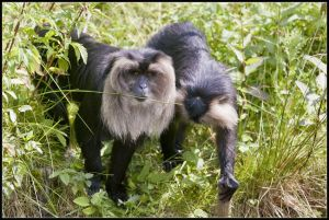 Lion macaques