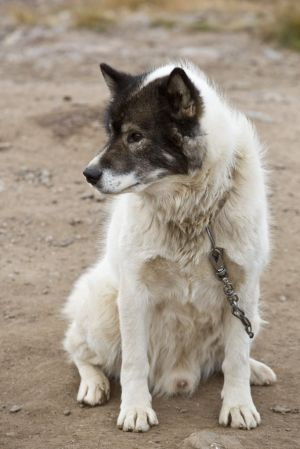 Arctic dog from Sirius dog sled patrol