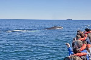 Southern Right whale viewing
