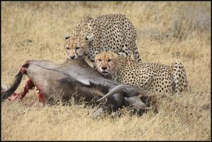 Cheetah with kill