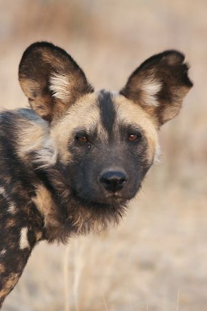 African Dog