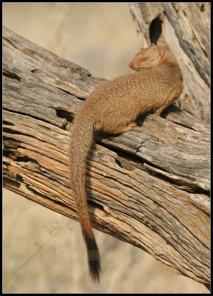 Yello Mongoose