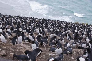 Rockhopper colony