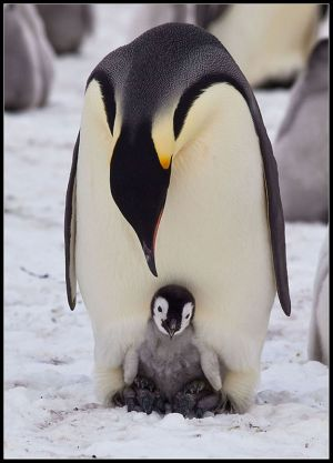 Emperor penguin chick and parent