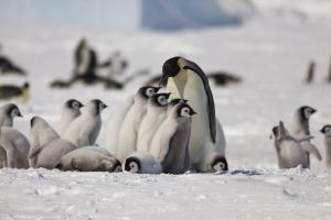 Emperor penguin chicks and adult