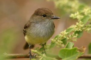 Galapagos Flycatcher.jpg