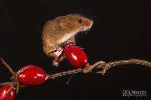Harvest mouse on red berries