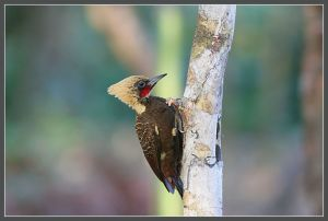 Blond crested woodpecker